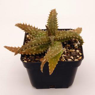 aloe-dorotheae x jucunda 1-min