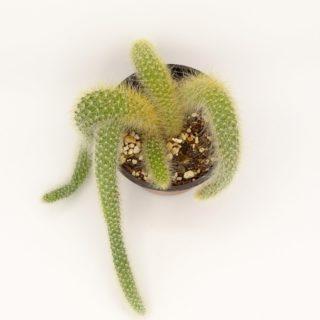 cleistocactus-002-min