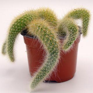 cleistocactus-colademononis 4-min