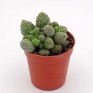 adromischus-herrei-green-min