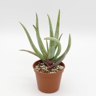aloe-pictifolia-002-min