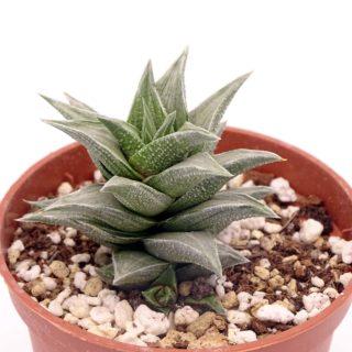 haworthia-tortuosa-variegata 1-min