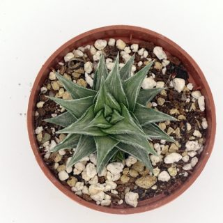 haworthia-tortuosa-variegata 3-min