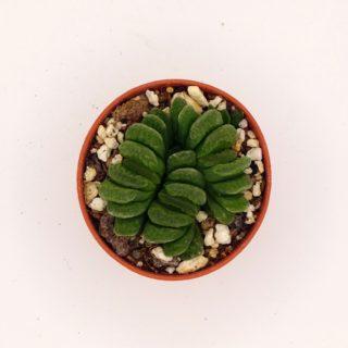 haworthia-truncata-lime-green2-min