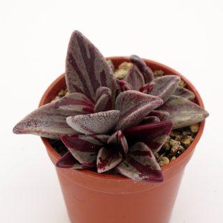 lenophyllum-red-variegata 1-003-min