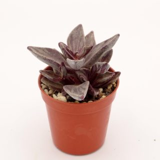 lenophyllum-red-variegata 2-001-min