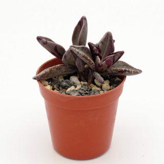 lenophyllum-red-variegata 3-002-min
