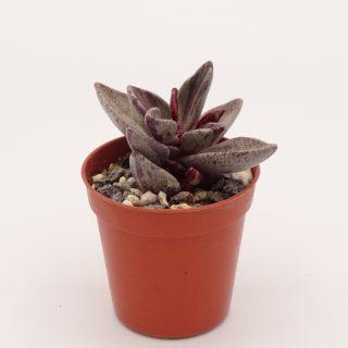 lenophyllum-red-variegata 4-001-min