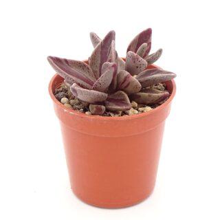 lenophyllum-red-variegata 5-001-min