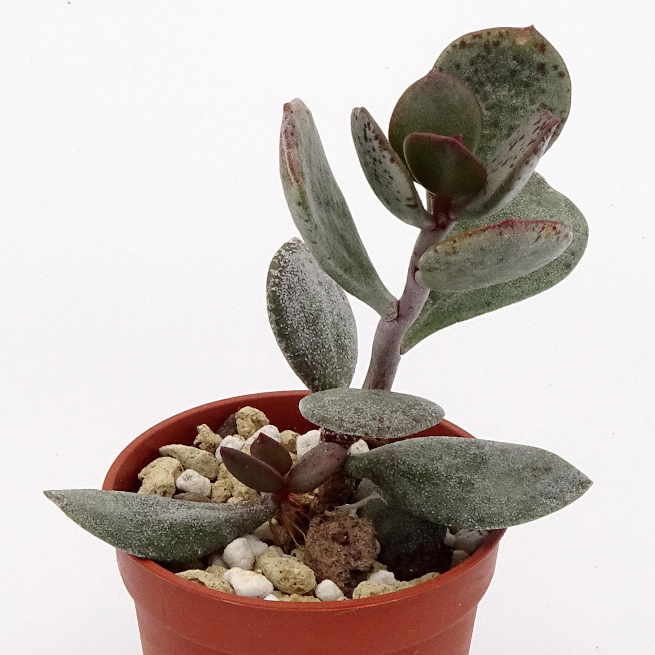 Adromischus-liebenbergii-orientalis-CR1505-003-min