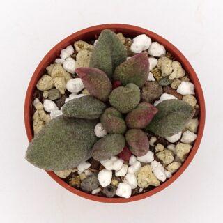adromischus-alveolatus-aubergine 2-001-min