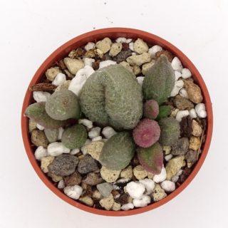 adromischus-alveolatus-aubergine 3-002-min