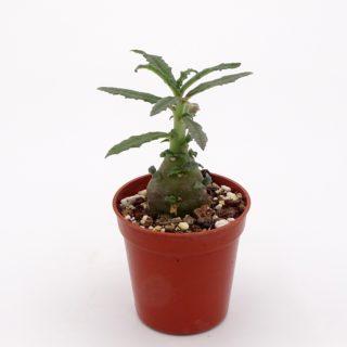 dorstenia-hildebrandtii-crispum-3-min
