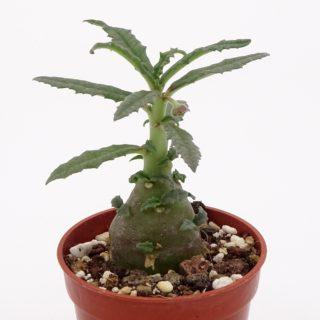 dorstenia-hildebrandtii-crispum-3a-min
